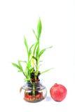 Sacred bamboo shoots Royalty Free Stock Image