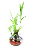 Sacred bamboo shoots Royalty Free Stock Photo