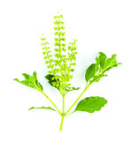 Sacred Basil isolated Stock Images