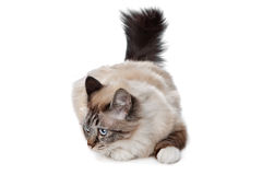 Sacred Birman Royalty Free Stock Photos