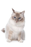 Sacred Birman Royalty Free Stock Images