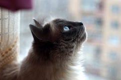 Sacred Birman cat Stock Photos