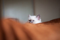 Sacred birman cat lying in bed hiding Royalty Free Stock Image