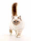 Sacred Birman cat Royalty Free Stock Photography