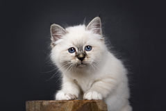 Sacred Birman kitten standing on a wooden stool