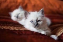 Sacred birman kitty Royalty Free Stock Image