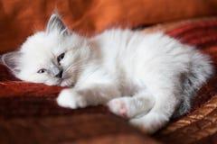 Sacred birman kitty Stock Images