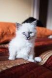 Sacred birman kitty Stock Photos