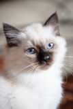 Sacred birman kitty Royalty Free Stock Image