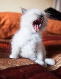 Sacred birman kitty yawning Royalty Free Stock Image
