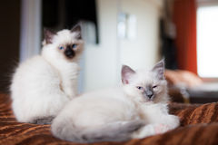 Sacred birman siblings in bed Royalty Free Stock Photo