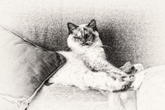 Sacred of Burma cat looking at camera stretched out on sofa. Looking at camera a seal tortie point Birman female cat stretched out on sofa. Black and white fine Royalty Free Stock Image