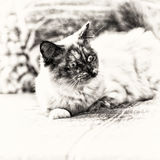 Sacred of Burma cat surprised and lengthened out on sofa. Focus on the head of a seal tortie point Birman female cat lengthened out on sofa. Black and white fine Royalty Free Stock Photo