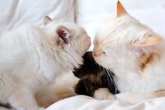 Sacred cat of burma Stock Images
