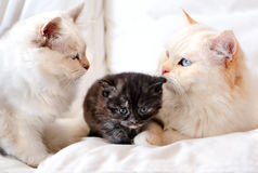Sacred cat of burma Stock Photography
