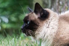 Sacred Cat of Burma. Close-up profile of the Sacred Cat of Burma or Birman royalty free stock photo