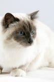 Sacred Cat of Burma Royalty Free Stock Photos