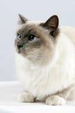Sacred Cat of Burma Stock Image