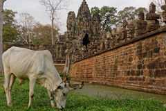 Sacred cow, Angkor Thom, Cambodia Royalty Free Stock Images