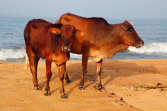 Sacred Cow and Calf. Sacred hornless cow and calf on the beach in Sri Lanka Royalty Free Stock Images