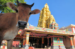 Sacred cow in front of Hindu temple, Sri Lanka. Sacred cow looking into the camera in front of Veeramakali Amman Kovil Hindu temple in Jaffna, Sri Lanka Stock Images