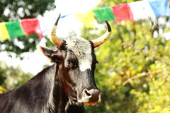 Sacred cow in front of a Nepalese prayer flag cord Stock Images