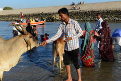 Sacred Cow. A Hindu devotee offers a fruit to a cow at the sacred Gomti River, several people take a dip in the waters here before proceeding to the temple Stock Photos