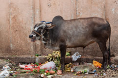Sacred Cow in India Royalty Free Stock Photo