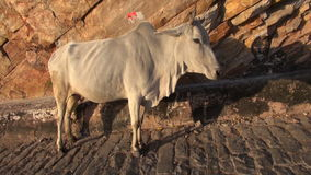 Sacred  cow  in India mountains stock footage