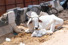 Sacred Cow in India. Portrait of sacred cow in busy street at night in India, adorned with fabric headwear, New Delhi. India stock images