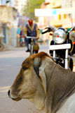 Sacred cow resting Stock Images