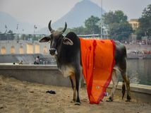 Sacred cow on street in Pushkar, India. Sacred cow on street at downtown in Pushkar, India royalty free stock photography