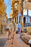 Sacred cow walking in Jaisalmer fort streets. Rajasthan. India. Jaisalmer is a city in the Indian state of Rajasthan, known as the golden city royalty free stock photography