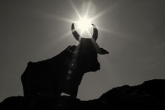 Sacred Cowon the Om Beach in India. Sacred Cow of the sunlight shining on the Om Beach in India Stock Photo