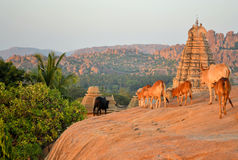 Sacred cows in front of Hindu temple Stock Photos