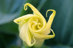 Sacred datura Stock Photos