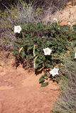 Sacred datura Royalty Free Stock Image