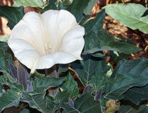 Sacred Datura Stock Photography