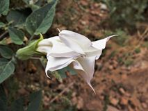 Sacred Datura. Solanaceae Datura wrightii, commonly known as Sacred Datura, Moonflower and Angel& x27;s Trumpet, is a poisonous, narcotic plant that can lead to stock image
