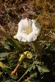 Sacred datura, a white poisoonus flower Royalty Free Stock Photo