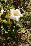Sacred datura, a white poisoonus flower Stock Photos