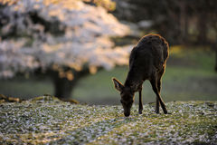 Sacred deer and cherry blossoms, Japan. A sacred deer in Nara, near temple area, during cherry blossom season, Japan Royalty Free Stock Photo