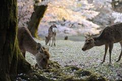 Sacred deer of Japan, during cherry blossom season. Three sacred deer in Nara, near temple area, during the sakura, or cherry blossom season, Japan Stock Photography