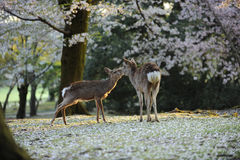 Sacred deer of Japan, during cherry blossom season. Two sacred deer in Nara, near temple area, during the sakura, or cherry blossom season, Japan Stock Photos