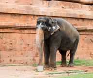 Sacred elephant drink from a bucket Royalty Free Stock Photos