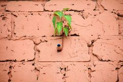 Sacred fig Ficus religiosa is growing side of water pipe PVC on wall block of building, Small tree growth on orange concrete. Sacred fig Ficus religiosa is stock photo