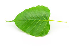 Sacred fig leaf (Ficus religiosa L. , Pipal Tree, Bohhi Tree, Bo Royalty Free Stock Images
