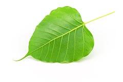 Sacred fig leaf (Ficus religiosa L. , Pipal Tree, Bohhi Tree, Bo. Tree, Peepul )  on white background Royalty Free Stock Photos