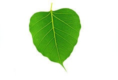 Sacred fig leaf (Ficus religiosa L. , Pipal Tree, Bohhi Tree, Bo Stock Photos