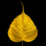Sacred fig leaf Royalty Free Stock Images